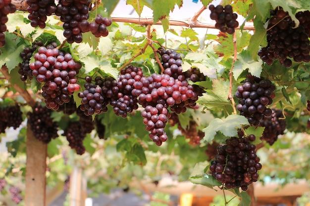 Raisins rouges sur la vigne dans la ferme