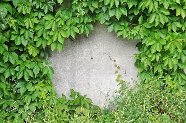 Raisins sauvages verts sur le vieux mur de pierre.