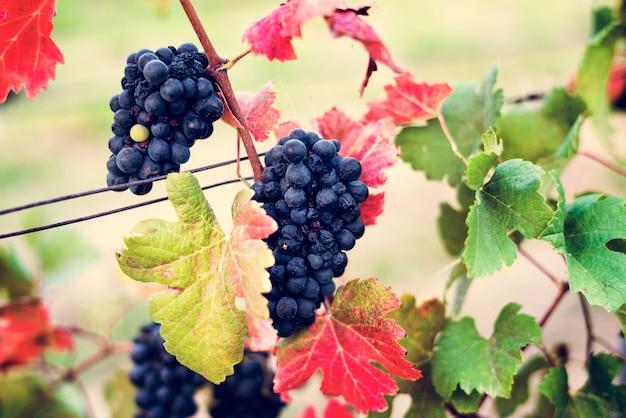 Raisins suspendus aux feuilles dans la vigne