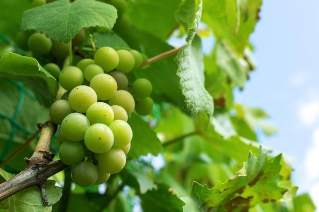 Raisins verts dans le jardin