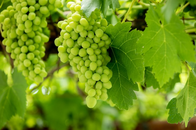 Raisins verts dans la plante