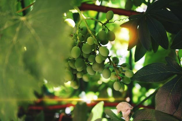 Raisins verts dans un vignoble artisanal
