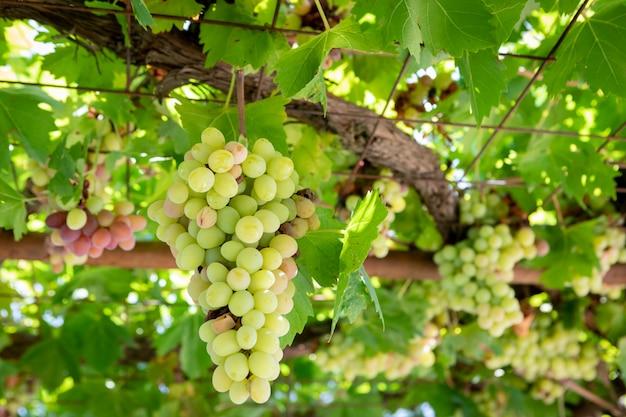 Raisins verts dans le vignoble
