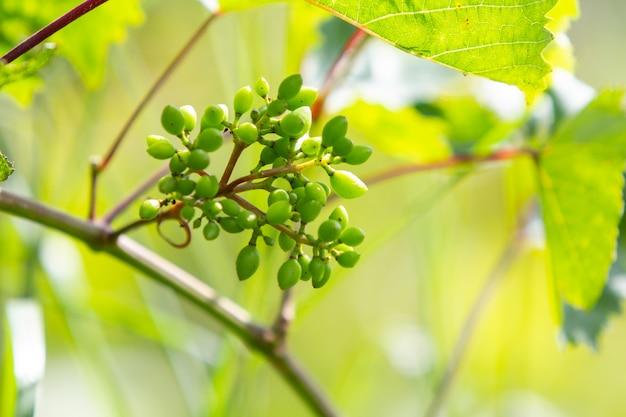 Raisins verts mûrissant sur une branche de vin au printemps.