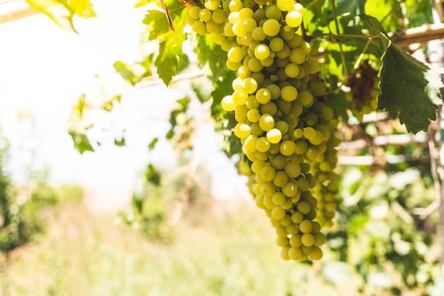 Raisins verts, plantes fruitières à l'extérieur au coucher du soleil.