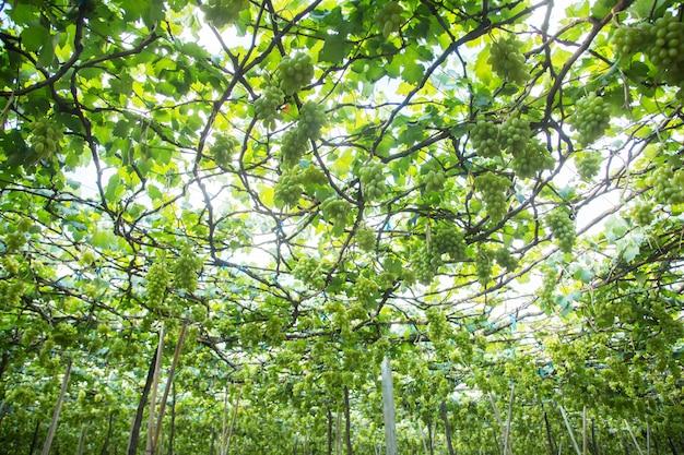 Raisins verts suspendus à un buisson, damnoen saduk, province de ratchaburi. thaïlande