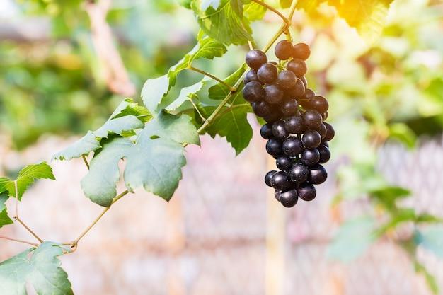 Raisins de vigne à la récolte