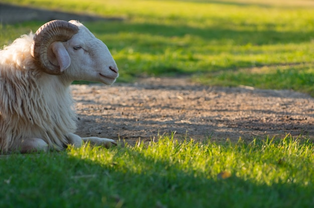 Ram blanc sur le terrain.