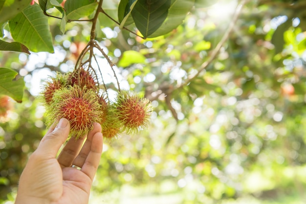 Ramboutan, negrito, semang, fruit thaï sucré