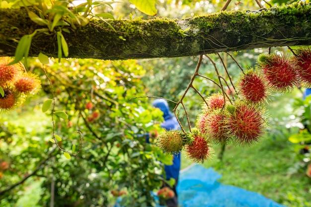 Le ramboutan scolaire nasarn est le meilleur ramboutan de thaïlande