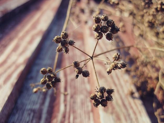 Rameau aux graines de coriandre. fond d'herbe.