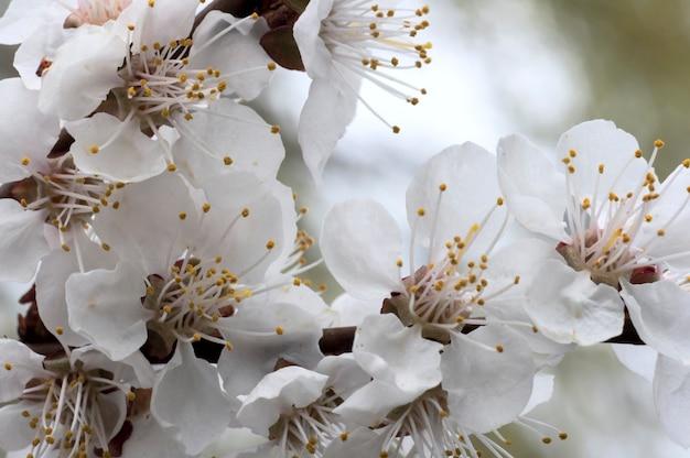 Rameau en fleurs de cerisier (sur fond d'arbre en fleurs)