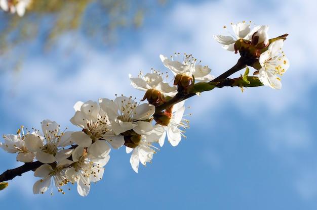 Rameau en fleurs de cerisier (sur fond de ciel bleu)