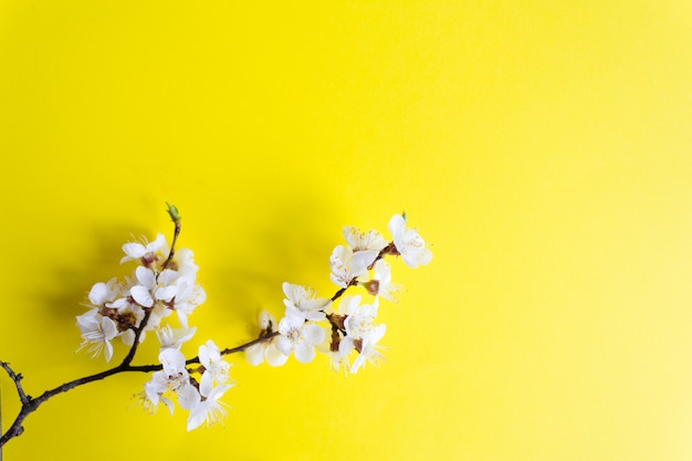 Rameau de fleurs de cerisier, printemps