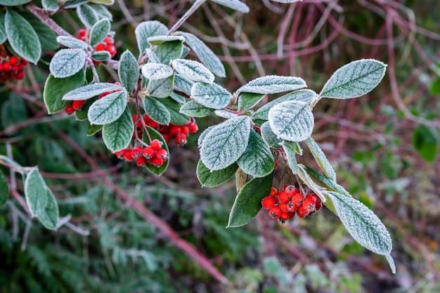 Rameau givré avec des fruits rouges mûrs pyracantha coccinea.