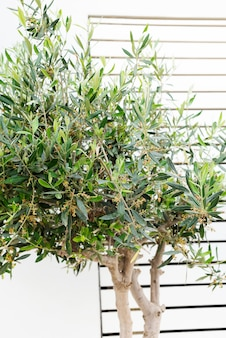 Rameau d'olivier rempli de fleurs et de boutons naissants