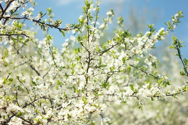 Rameaux de cerisiers en fleurs