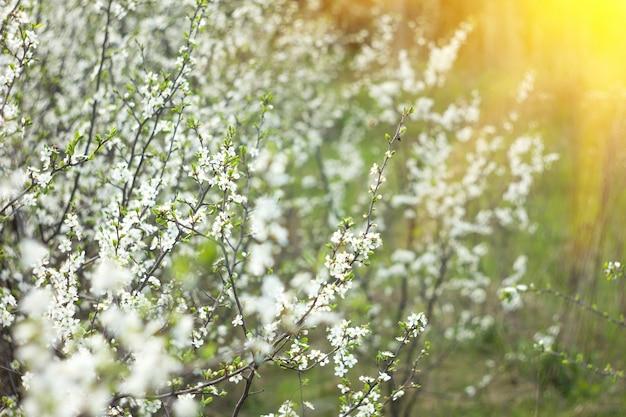 Rameaux en fleurs au printemps, avec une lumière ensoleillée, fond de printemps