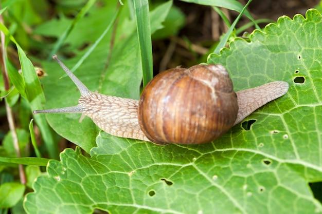 Rampant le long du feuillage vert est un escargot de raisin en été