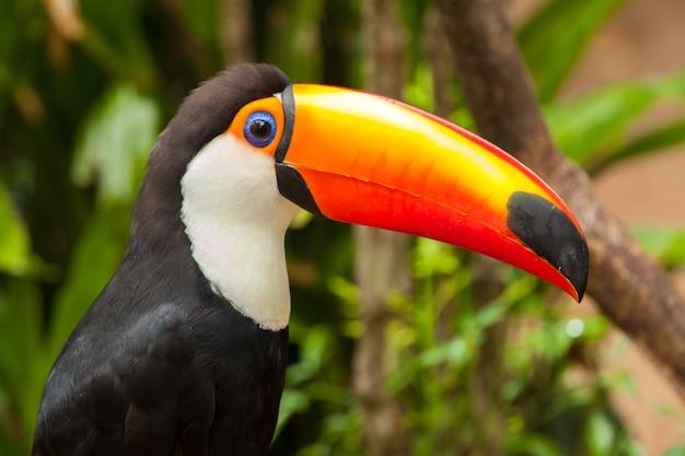 Ramphastos toco - toucan