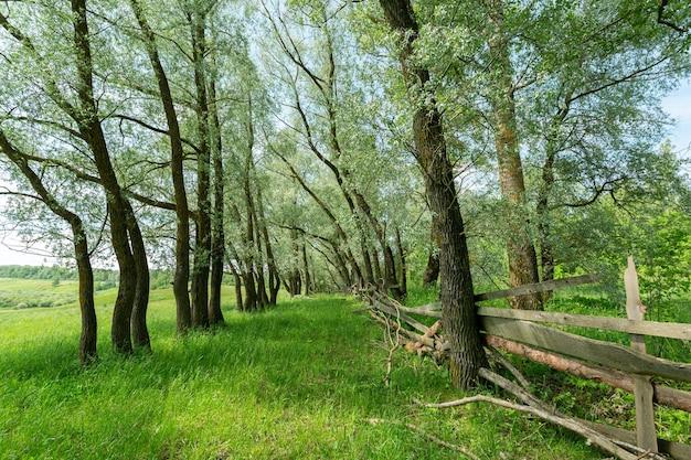 Rangée d'arbres à feuilles caduques par l'ancienne clôture en bois faite de branches d'arbres dans la campagne pittoresque de pushkinskie gory, région de pskov, russie.