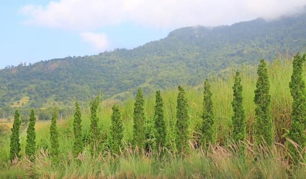 Rangée de beaux pins dans un jardin sur fond de montagnes.