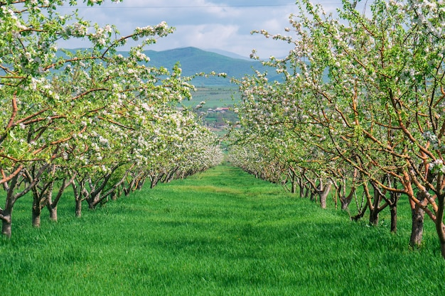 Rangée de belle floraison de pommiers et d'arbres fruitiers décoratifs
