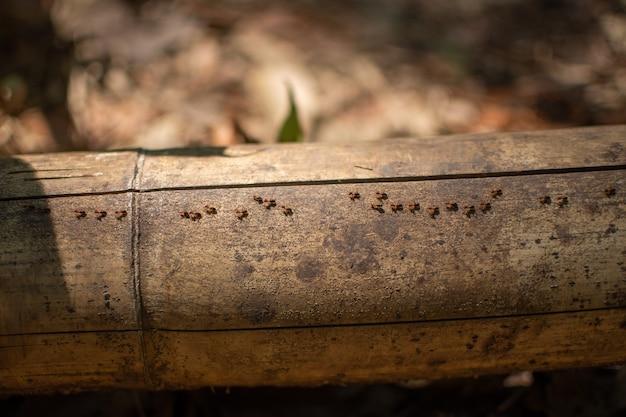 Une rangée de fourmis marchent sur du bambou séché.