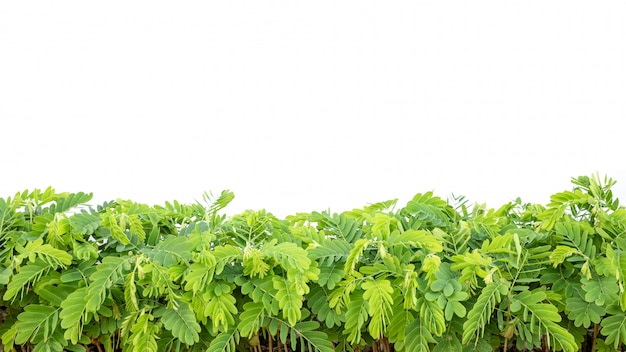 Rangée de jeune tamarinier vert isolé sur blanc