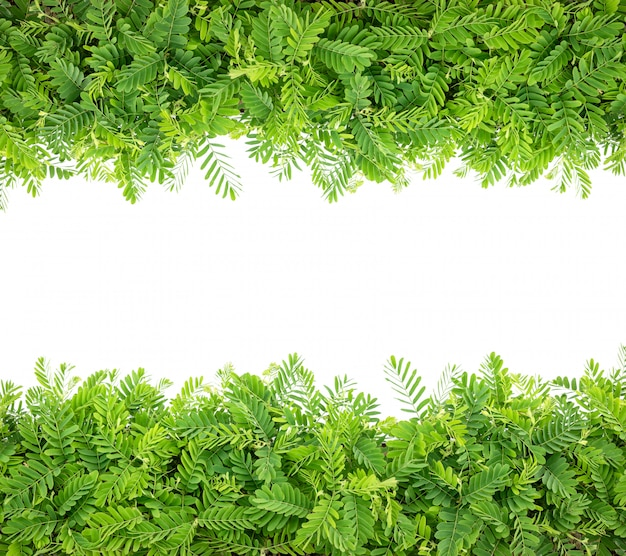 Rangée de jeunes branches d'arbre de tamarin vert