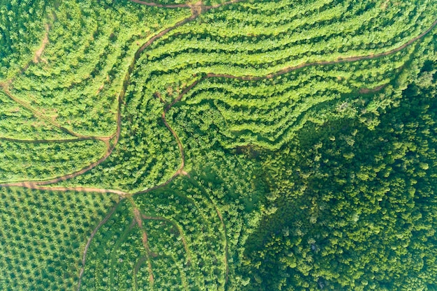 Rangée, de, palmier, plantation, jardin, sur, haute montagne, dans, phang nga, thaïlande
