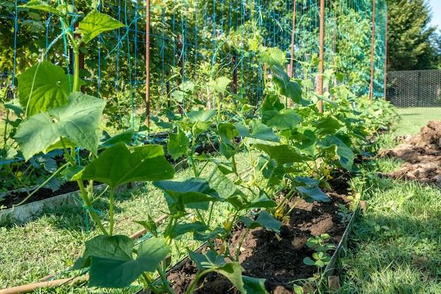 Une rangée de plants de concombre vert. les concombres poussent en pleine terre. légume