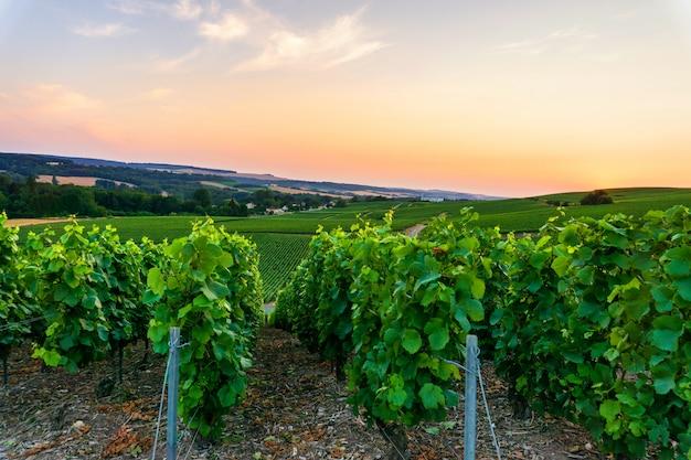 Rangée de vigne dans les vignobles de champagne à la campagne de montagne de reims village