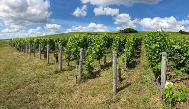 Rangée de vigne dans les vignobles de champagne à la montagne de reims, france