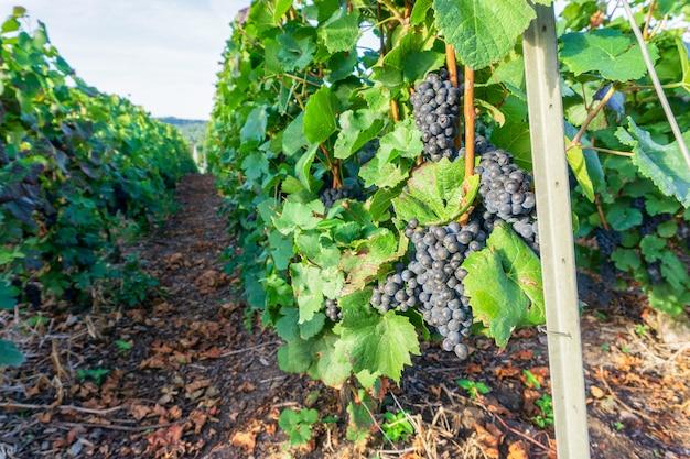 Rangée de vigne dans les vignobles de champagne à la montagne de reims