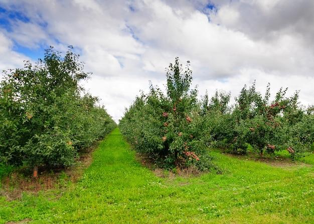 Des rangées d'arbres dans un verger de pommiers