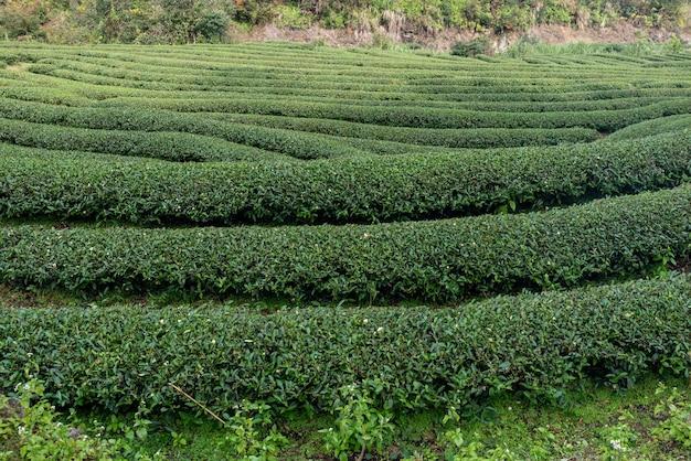 Rangées d'arbres à thé réguliers dans le jardin de thé