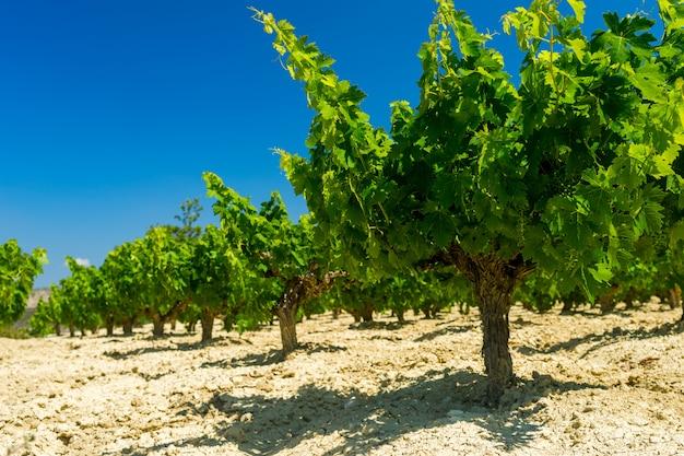 Rangées de beaux buissons de vigne contre un ciel d'été bleu