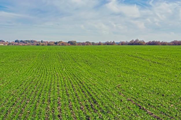 Rangées de blé d'hiver de printemps sur un champ sous un ciel bleu avec des nuages