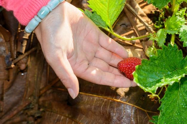 Rangées de fraises dans une ferme de fraises