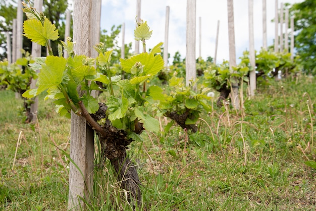 Rangées de jeunes vignes dans le vignoble