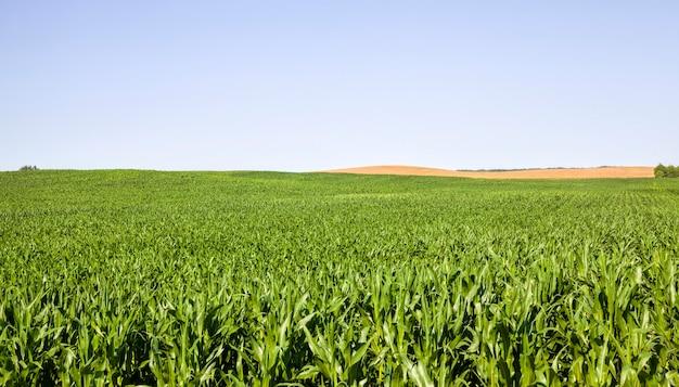 Rangées de maïs vert en été