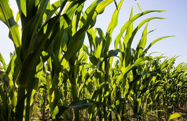 Rangées de maïs vert