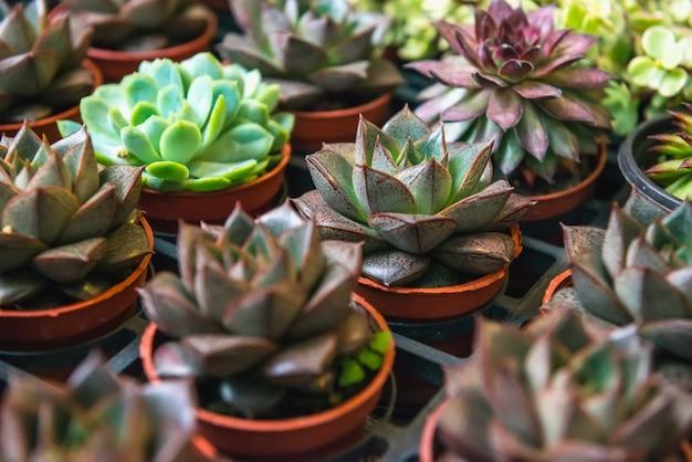 Rangées de plantes succulentes en pots.
