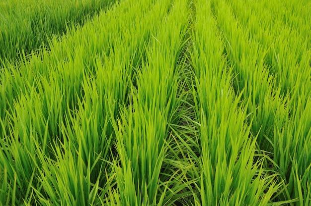 Rangées de rizières