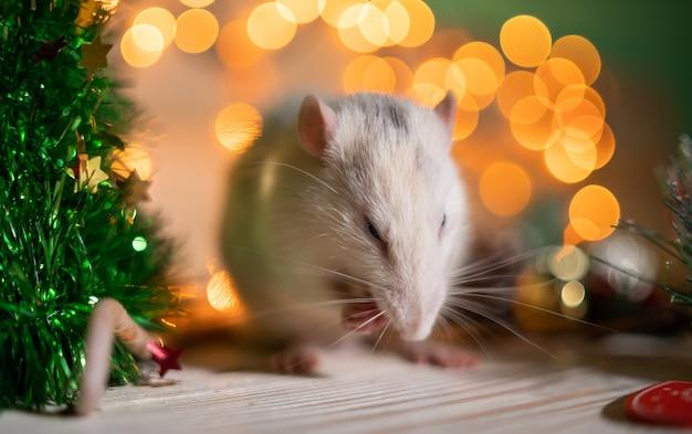 Rat blanc sur des lumières floues