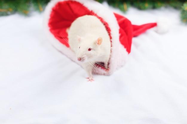 Le rat blanc regarde un chapeau de noël, la souris de noël.