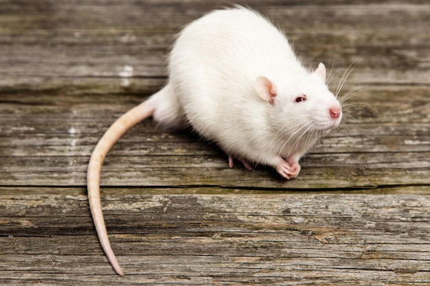Rat de compagnie