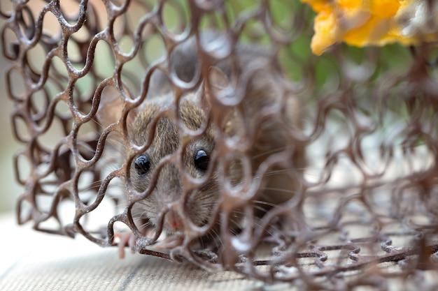 Rat dans la cage