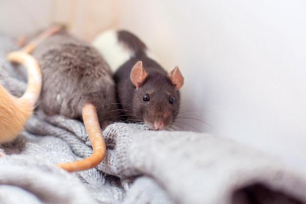 Le rat décoratif domestique étouffé dans un pull gris tricoté et est chauffé.